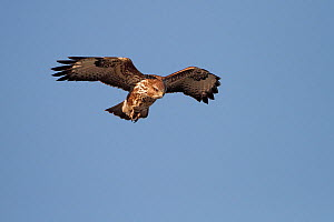 Common buzzard (Buteo buteo) hovering, searching for prey, Cheshire, UK, February. - Alan Williams