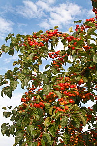 Crab apple (Malus sylvestris) fruits on tree grown at roadside in Cheshire village, UK, October.  -  Alan Williams