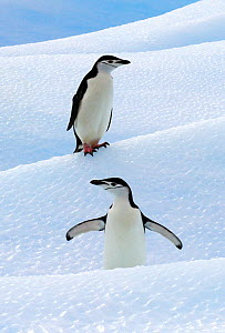 Chinstrap Penguins (Pygoscelis antarcticus) standing on ice. South Shetland Islands, Antarctica, January. Book plate from Mark Carwardine's Ultimate Wildlife Experiences.  -  Mark Carwardine