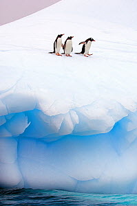 Three Gentoo Penguins (Pygoscelis papua) standing at the edge of sea ice. Antarctic Peninsula, January. Book plate from Mark Carwardine's Ultimate Wildlife Experiences. - Mark Carwardine