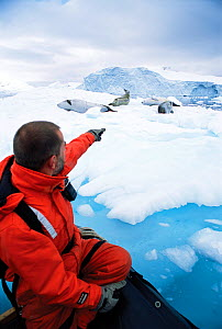 Man in zodiac boat watching Crabeater Seals (Lobodon carcinophagus) resting on sea ice. Antarctic Peninsula, January. Book plate from Mark Carwardine's Ultimate Wildlife Experiences.  -  Mark Carwardine