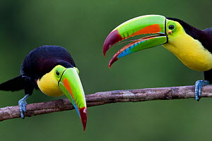 Keel billed toucans (Ramphastos sulfuratus) near Boca Tapada, Costa Rica. January  -  Sue Flood