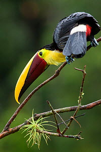 Chestnut mandibled toucan (Ramphastos ambiguus swainsonii) near Boca Tapada, Costa Rica. January 2011  -  Sue Flood