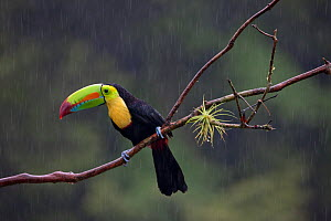 Keel billed toucan (Ramphastos sulfuratus) near Boca Tapada, Costa Rica. January 2011.  -  Sue Flood