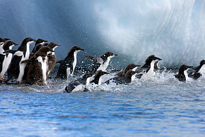 Adelie penguins (Pygoscelis adeliae) young individuals go to sea at Brown Bluff, Antarctic Peninsula. January  -  Sue Flood