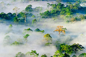Mist and low cloud hanging over lowland Dipterocarp Rainforest, just after sunrise, Danum Valley, Sabah, Borneo, May 2011. - Nick Garbutt