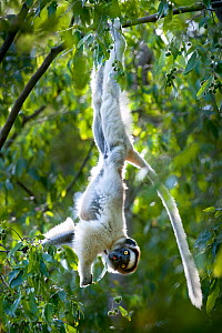 RF- Verreaux's sifaka lemur (Propithecus verreauxi) hanging from  branch while feeding in canopy. Berenty Private Reserve, southern Madagascar. Endangered species. (This image may be licensed either a...  -  Nick Garbutt
