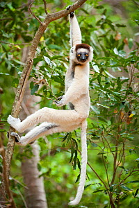 Verreaux's sifaka lemur (Propithecus verreauxi) hanging in relaxed posture from a branch in the canopy, Berenty Private Reserve, southern Madagascar. - Nick Garbutt