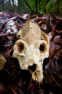 Skull of giant extinct sloth lemur (Palaeopropithecus kelyus). Recovered from underground coastal cave systems near Anjajavy. Photographed on leaf-litter in dry deciduous forest near Anjavavy, north w... - Nick Garbutt