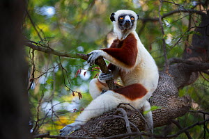 Coquerel's sifaka lemur (Propithecus verreauxi coquereli) adult resting in forest canopy, Anjajavy dry deciduous forest, north west Madagascar.  -  Nick Garbutt