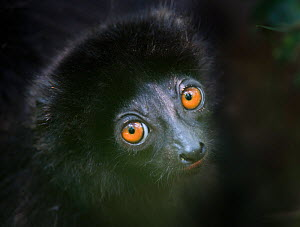 Milne-edward's sifaka lemur (Propithecus diadema edwardsi) infant head portrait, Ranomafana National Park, south east Madagascar.  -  Nick Garbutt