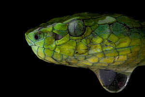 Large scaled pit viper (Trimeresurus macrolepis) head profile, water droplet below, Western Ghats, Southern India  -  Sandesh Kadur