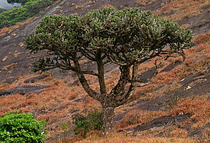This large tree (Euphorbia santapaui) is endemic to the inhospitable slopes of the Agasthyamalais. It grows in this rocky terrain at an elevation of 1,800 metres where rain and wind are constant. West... - Sandesh Kadur