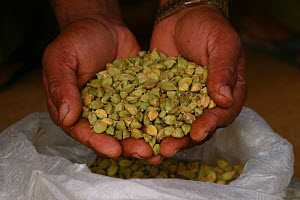 Cardamom (Elettaria cardamomum) pods held in hand. Grows wild in the monsoon forests of the Western Ghats,  and cultivated for its value  in ayurvedic medicine and as a food spice. India.  -  Sandesh Kadur