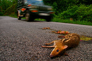 Indian spotted chevrotain / Mouse deer (Moschiola indica) road kill, Western Ghats, Southern India  -  Sandesh Kadur
