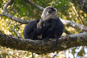 Liontail macaque (Macaca silenus) grooming large male, Western Ghats, Southern India  -  Sandesh Kadur
