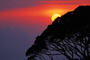 A summer sun descends beyond the characteristic crown of a moss covered Shola tree in the Anamalais, Kerala, Western Ghats, Southern India  -  Sandesh Kadur