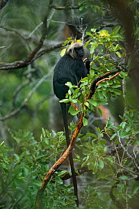 Nilgiri Langur (Trachypithecus johnii) feeding in tree, endemic to the Western Ghats south of Coorg, the Nilgiri Langur is one of nearly 16 species of primate found in India. - Sandesh Kadur