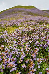 Entire hillside covered with flowers of Kurinji plant (Strobilanthes sp) Eravikulam National Park, Western Ghats, Kerala, India. Flowering only occurs once every twelve years,  The next flowering of t...  -  Sandesh Kadur