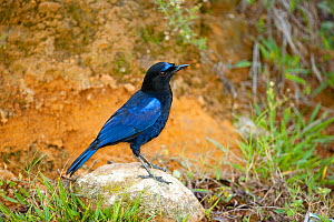 Malabar whistling thrush (Myophonus horsfieldii) perched on rock, known for its human-like whistle, this bird inhabits wooded ravines in the Western Ghats, India  -  Sandesh Kadur