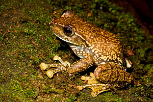 Frog, unknown species, Western Ghats, Southern India  -  Sandesh Kadur