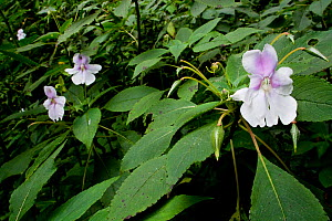 Indian balsam (Impatiens balsamina) Western Ghats, Southern India  -  Sandesh Kadur