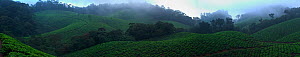 Panoramic view of tea plantations in the Western Ghats, Southern India.  Vast areas of shola grassland habitat were destroyed and used for cultivation of tea to satisfy the British taste for this exot...  -  Sandesh Kadur