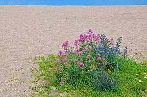 Flowers on beach, including Red valerian (Centranthus ruber) Viper's bugloss (Echium vulgare) Sea mayweed (Matricaria maritima) Sea spurge (Euphorbia paralias) Sea carrot (Daucus carota) Slapton, Devo...  -  Adrian Davies