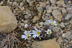 Shetland mouse ear / Edmonston's chickweed(Cerastium nigrescens) Keen of Hamar, Unst, Shetland, Scotland, UK, June.  -  Adrian Davies