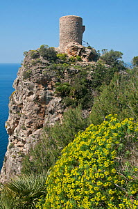 Tree spurge (Euphorbium dendroides) growing on sea cliffs near ancient lookout tower, Torre del Verger, Mallorca, March 2012. - Adrian Davies