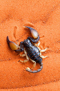 African yellow leg scorpion (Opistophthalmus carinatus) on sand, Tswalu Kalahari game reserve, Northern Cape, South Africa, January  -  Ann & Steve Toon