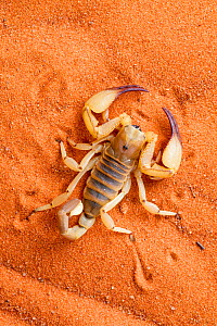 Scorpion (Opistophthalmus wahlbergii) on sand, Tswalu Kalahari game reserve, Northern Cape, South Africa, January  -  Ann & Steve Toon