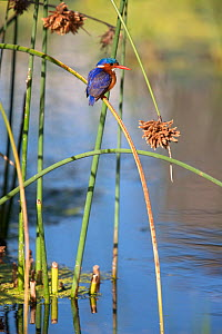 Malachite kingfisher (Alcedo cristata) perched on rush, Intaka Island, Cape Town, South Africa, February - Ann & Steve Toon