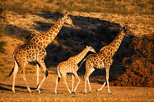 Giraffes (Giraffa camelopardalis), two adults with baby, Kgalagadi Transfrontier Park, Northern Cape, South Africa, January  -  Ann & Steve Toon