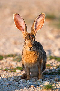 Cape hare (Lepus capensis) Kgalagadi Transfrontier national park, South Africa, February - Ann & Steve Toon