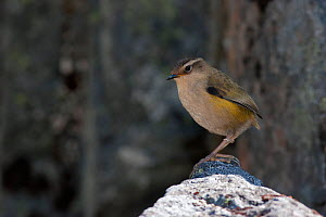 South island wren (Xenicus gilviventris) male perched on a rock in its alpine habitat, Homer Tunnel, Fiordland National Park, New Zealand, January.  -  Brent Stephenson