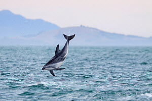 Dusky dolphin (Lagenorhynchus obscurus) somersaults from the water, Kaikoura, Canterbury, New Zealand. February.  -  Brent Stephenson