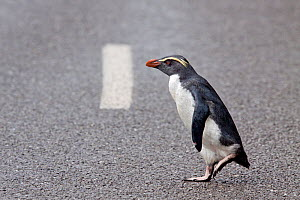 Fiordland crested penguin (Eudyptes pachyrhynchus) crosses the road heading back to sea, Jackson Bay, West Coast, New Zealand, February.  -  Brent Stephenson