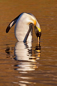King penguin (Aptenodytes patagonicus) baths in shallow water with a golden reflection at sunrise, Grytviken Harbour, South Georgia, South Atlantic, March.  -  Brent Stephenson