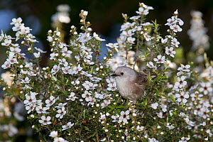 Whitehead (Mohoua albicilla) peers out from a flowering bush whilst foraging, Tiritiri Matangi Island, Auckland, New Zealand, September.  -  Brent Stephenson