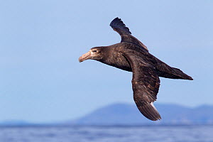 Northern giant petrel (Macronectes halli) flying at sea with land in the background, Kaikoura, Canterbury, New Zealand, October.  -  Brent Stephenson
