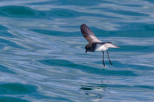 Grey-backed storm-petrel (Garrodia nereis) hovers above the water whilst it feeds. Kaikoura, Canterbury, New Zealand, October.  -  Brent Stephenson