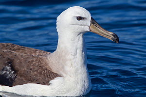 Black-browed (Thalassarche melanophrys) or Campbell albatross (Thalassarche impavida) young rests on the water with beads of water on its back, off Whitianga, Coromandel Peninsula, New Zealand, Novemb...  -  Brent Stephenson