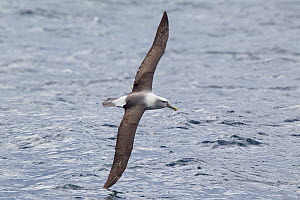 White-capped albatross (Thalassarche steadi) skimming the water with wing, off Stewart Island, New Zealand, November.  -  Brent Stephenson
