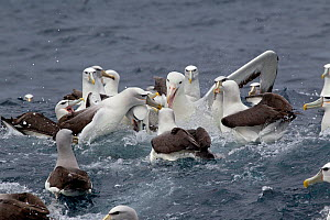 Southern Royal albatross (Diomedea epomophora) comes in to try and steal food from a group of Salvin's (Thalassarche salvini) and White-capped albatrosses (Thalassarche steadi) off Stewart Island, New...  -  Brent Stephenson