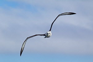 White-capped albatross (Thalassarche steadi) flying directly at the camera, off Stewart Island, New Zealand. November.  -  Brent Stephenson