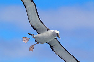 White-capped albatross (Thalassarche steadi) young comes in to land at sea, with feet spread, off Stewart Island, New Zealand, November.  -  Brent Stephenson