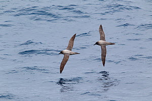 Light-mantled sooty albatross (Phoebetria palpebrata) pair in flight low to the sea, showing upperwing, Drake Passage, South Atlantic, December.  -  Brent Stephenson