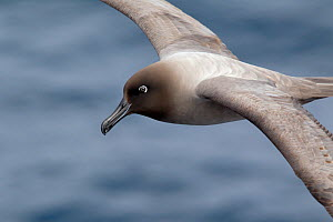 Light-mantled sooty albatross (Phoebetria palpebrata) in flight, head portrait, Drake Passage, South Atlantic, December.  -  Brent Stephenson
