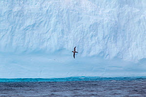 Light-mantled sooty albatross (Phoebetria palpebrata) in flight against a massive iceberg. Drake Passage, South Atlantic, December.  -  Brent Stephenson